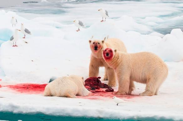 PolarBearsEatingSeal