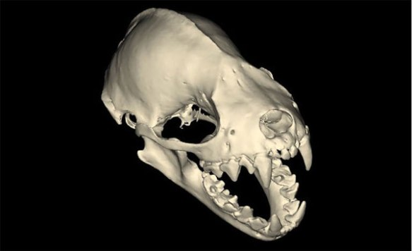 fruit-bat-skull2