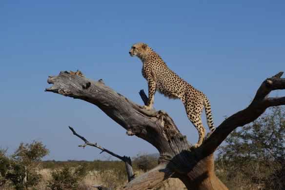 cheetah on top of brown tree branch